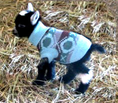 Baby pygmy goat in a sweater